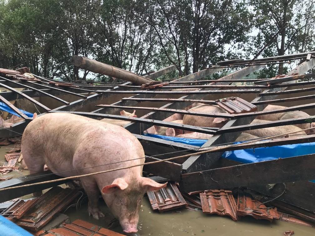 Em uma propriedade no distrito de Aurora do Iguaçu, um galpão que abrigava 700 porcos não resistiu ao mau tempo e caiu — Foto: Marcos Landim/RPC