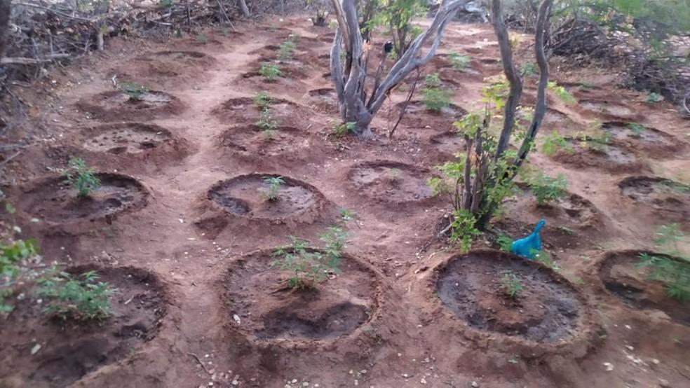 Plantação de maconha achada em Abaré nesta quinta-feira (11) — Foto: Divulgação/SSP