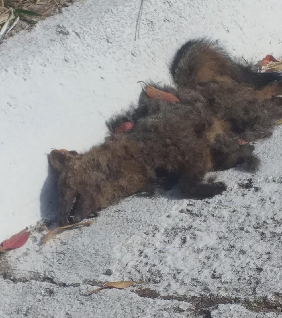 Filhote de lobo-guará morre durante incêndio florestal em Guaxupé, MG — Foto: Marco Aurélio Felito