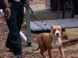 Pitbull protege menino de 3 anos perdido até chegada da polícia (Divulgação/Suwannee County Sheriff's Office)
