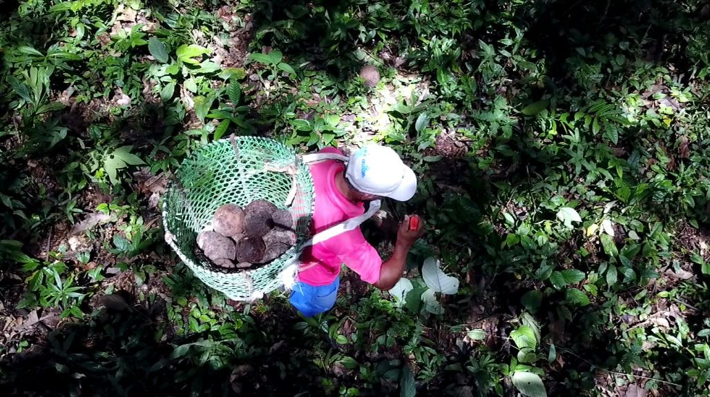 Conheça o preparo 'raiz' do açaí e uma castanheira mais antiga que o Brasil
