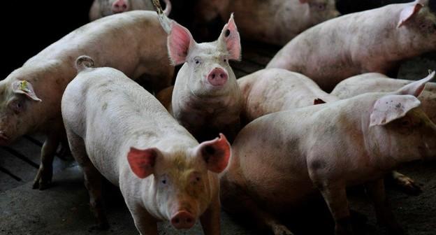 Confirmação de caso de peste suína no Haiti põe indústria brasileira em alerta