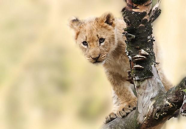 leão filhote - imposto de renda - dependentes (Foto: Pexels)