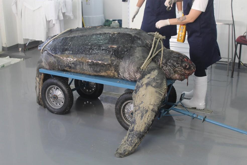 Animal encontrado era um macho subadulto, que passou pela fase juvenil, mas ainda não possui as características típicas de um adulto — Foto: Projeto de Monitoramento de Praias/Divulgação