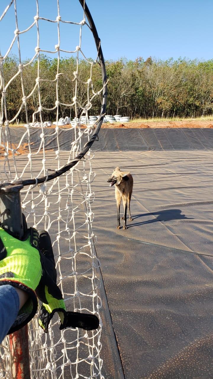 Ameaçado de extinção, lobo-guará cai em vala de estação de tratamento de esgoto e resgate mobiliza o Corpo de Bombeiros; veja VÍDEO