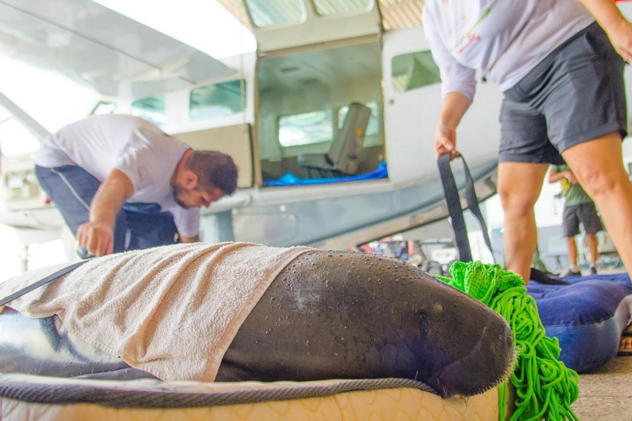 Três Peixes-boi são transferidos de aeronave de Belém para centro de reabilitação em Santarém