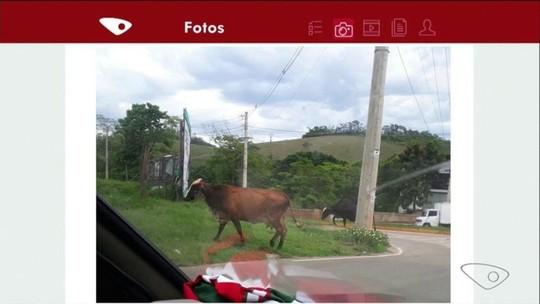 Moradores reclamam de bois soltos no meio da rua, em Cachoeiro