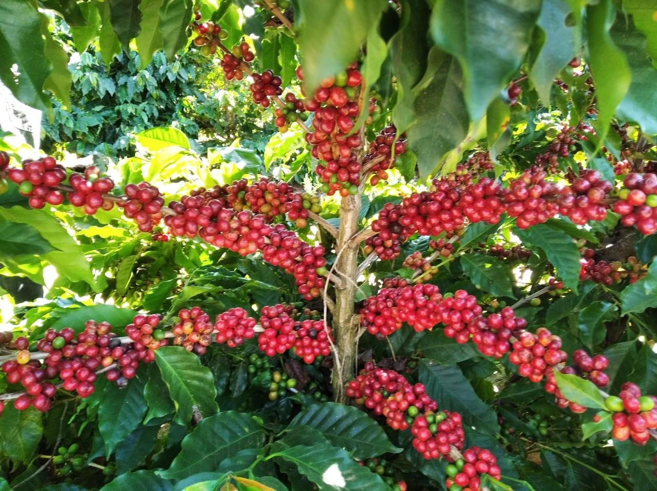 Cafeicultor pode ter dificuldade de cumprir entregas, se safra 2021 cair muito, diz Itaú BBA thumbnail