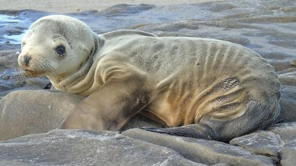 Em 2015, 'The Blob' fez com que várias espécies ficassem desnutridas ou morressem — Foto: NOAA/Nasa