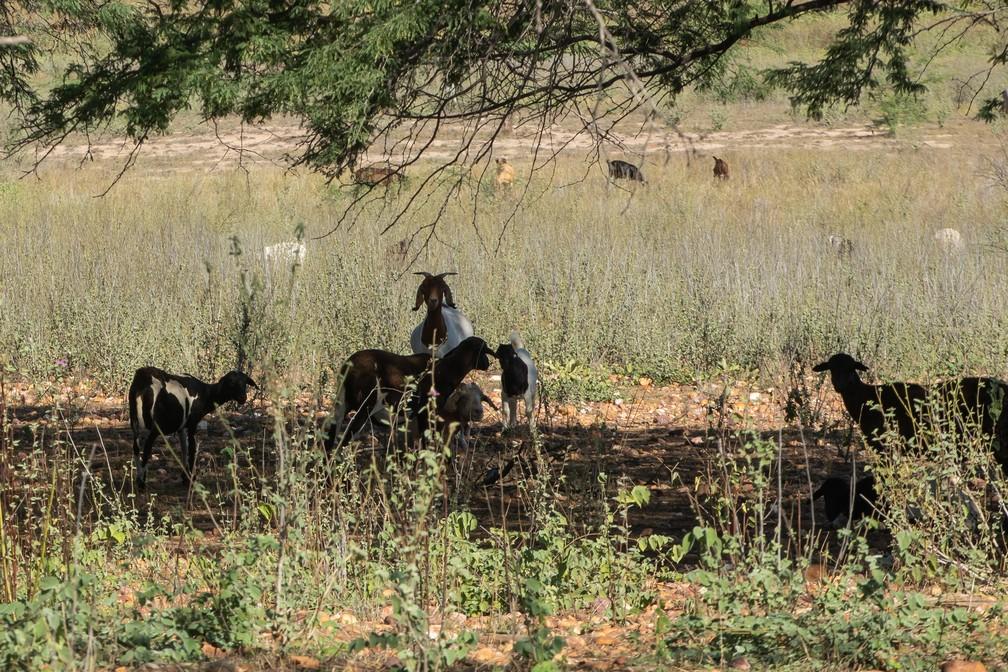 Excesso de caprinos e ovinos pode agravar degradação da caatinga. — Foto: Celso Tavares/G1