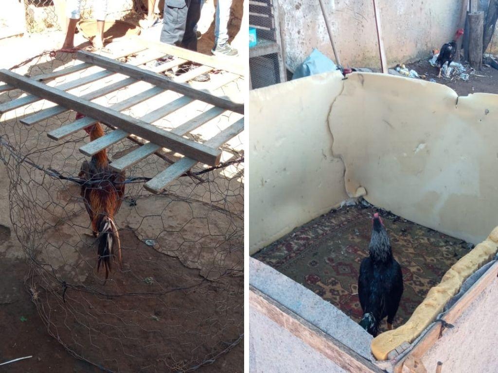 Flagrante de rinha de galo termina com 11 suspeitos detidos e 10 animais feridos em Batatais, SP