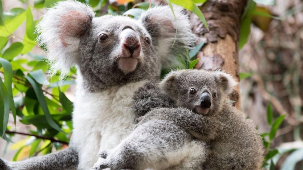 A população de coalas caiu drasticamente nas últimas duas décadas. Um dos motivos é a clamídia, doença sexualmente transmissível.  (Foto: Getty Images)