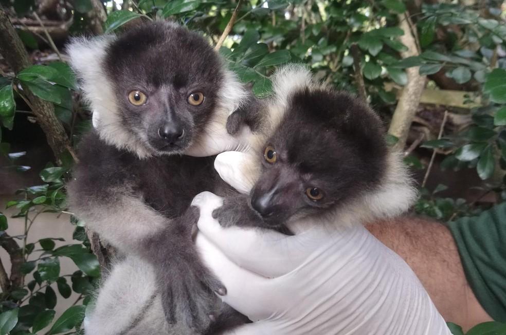 Primeiros lêmures preto-e-branco nascem no zoológico de Itatiba — Foto: Divulgação