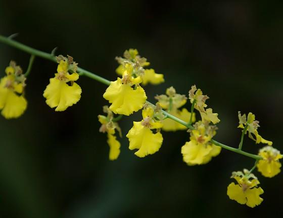 Com flores amarelas, a orquídea do Espinhaço é confundida com a popular chuva-de-ouro, mas é uma espécie exclusiva do Jardim Botânico (Foto: Márcia Foletto / Agência O Globo)