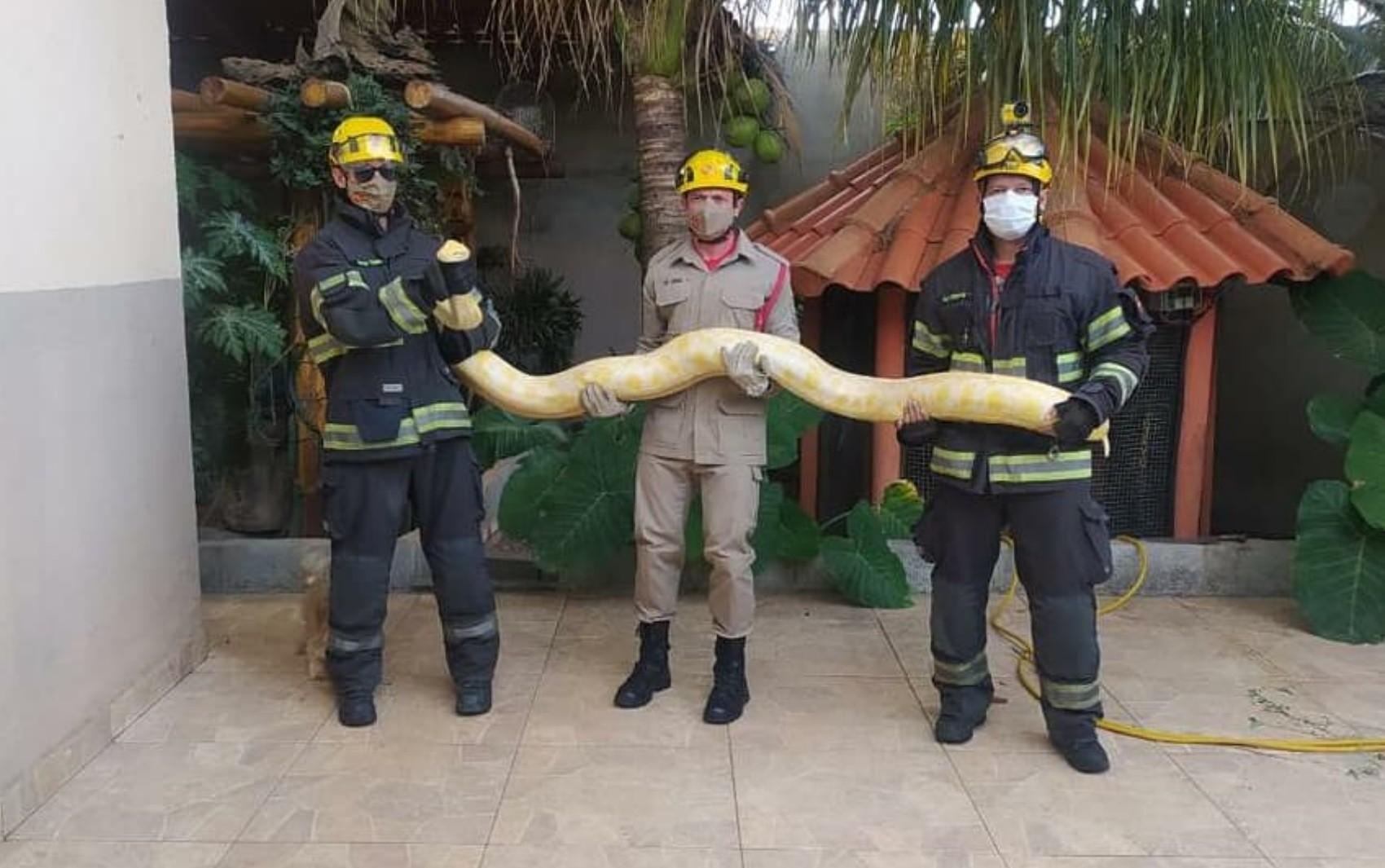 Cobra píton albina de mais de 2 metros é capturada dentro de casa em Aparecida de Goiânia