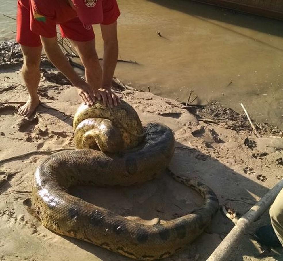 Sucuri foi devolvida à natureza, de acordo com os bombeiros (Foto: Corpo de Bombeiros/Divulgação)