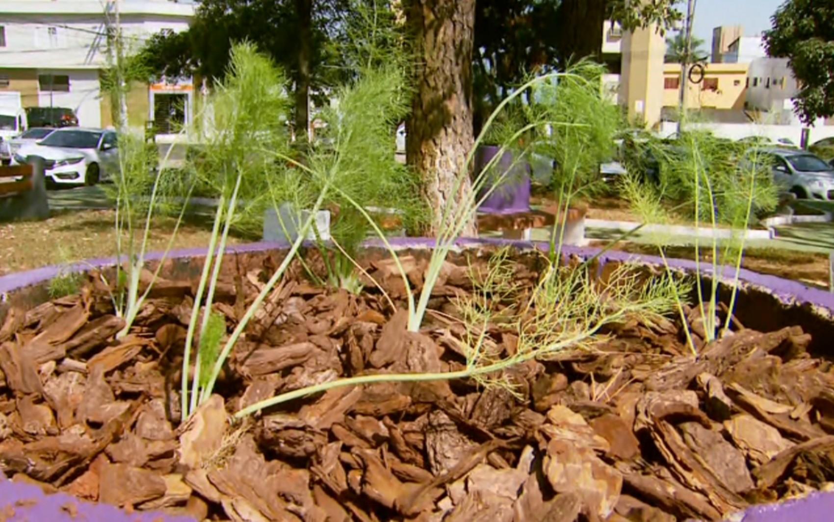 Praça é revitalizada com plantio de ervas medicinais em Passos, MG