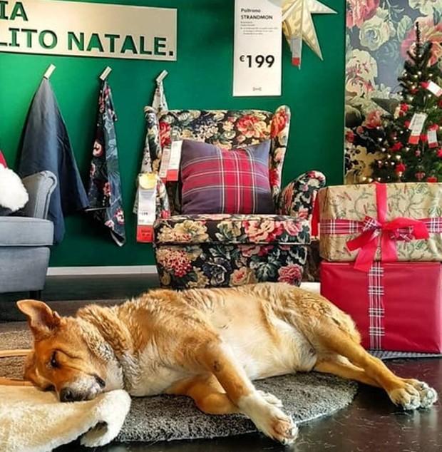 Os cães abandonados ganham abrigo em meio aos displays da loja da IKEA, na Itália (Foto: Instagram/ Reprodução)