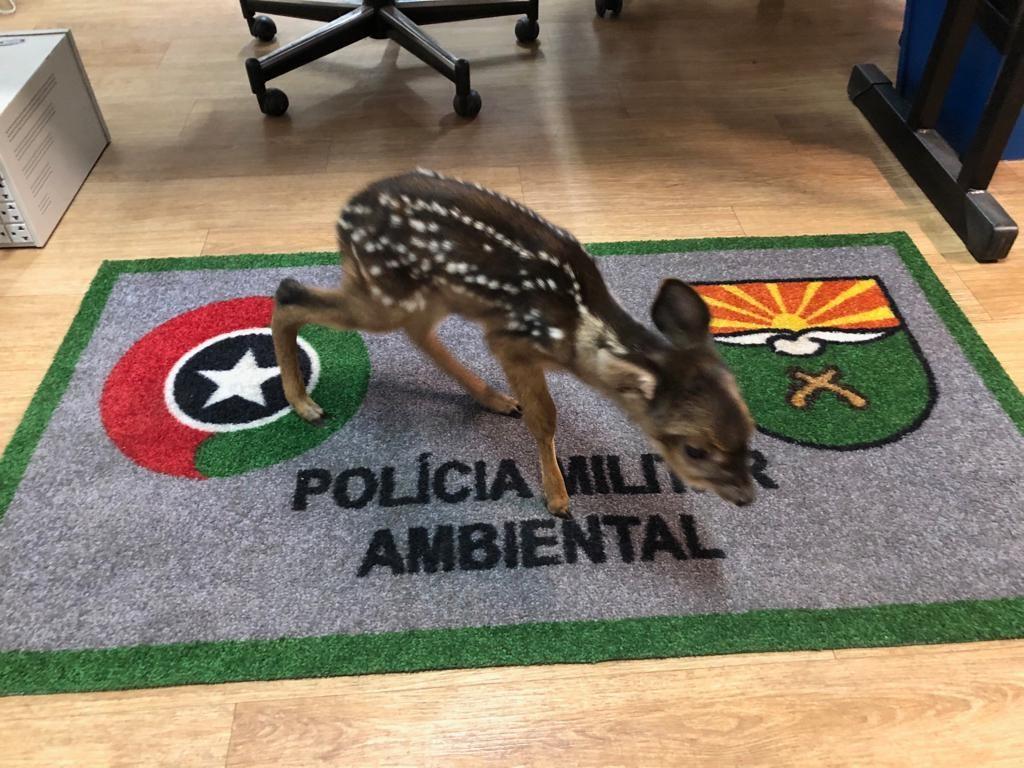 Morre filhote de veado resgatado em Caçador