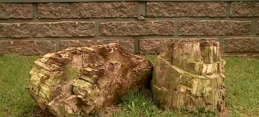 Fóssil com aproximadamente 275 milhões de anos é encontrado em Criciúma