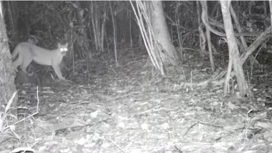 Segundo maior felino do Brasil, onça parda é moradora do Parque Nacional da Bocaina
