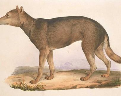 Lobo-japonês é o parente mais próximo dos cães domésticos, indica estudo