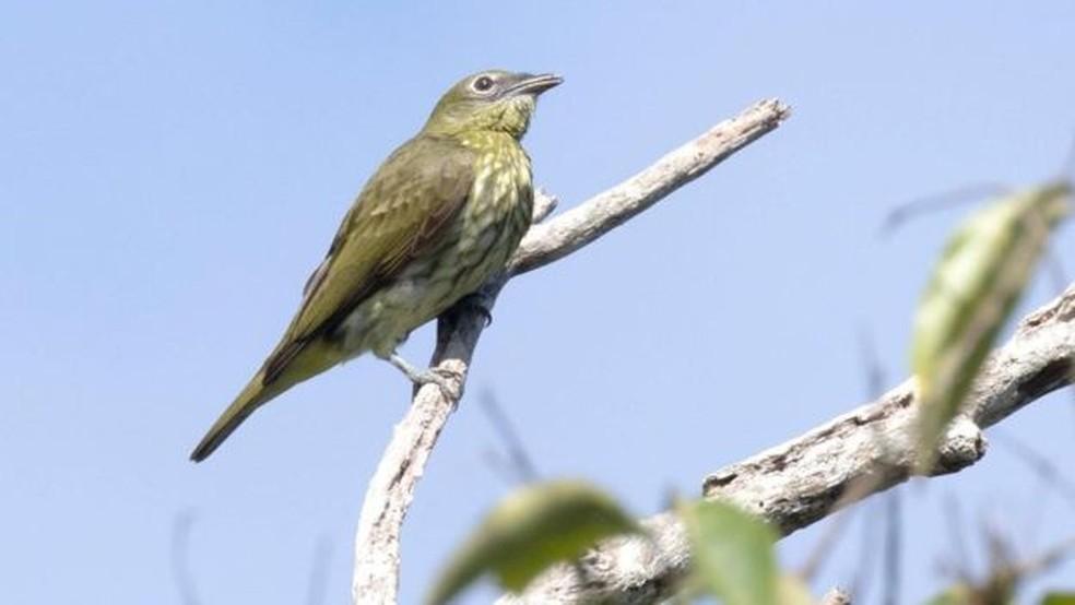Uma araponga-da-Amazônia fêmea; quando elas estão por perto, eles cantam mais alto — Foto: Divulgação/Anselmo D'Afonseca/BBC