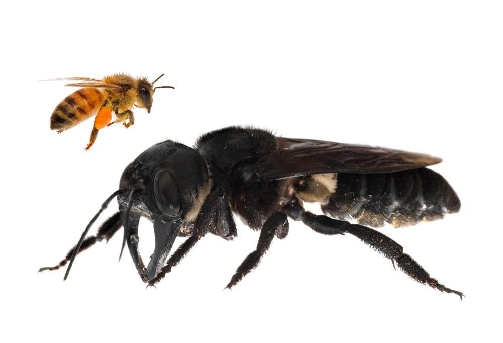 Abelha gigante de Wallace (Megachile pluto) comparada com uma abelha-europeia (Foto: Clay Bolt)
