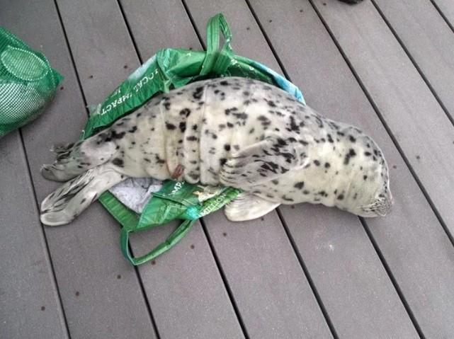 O bebê foca enrolado em saco plástica