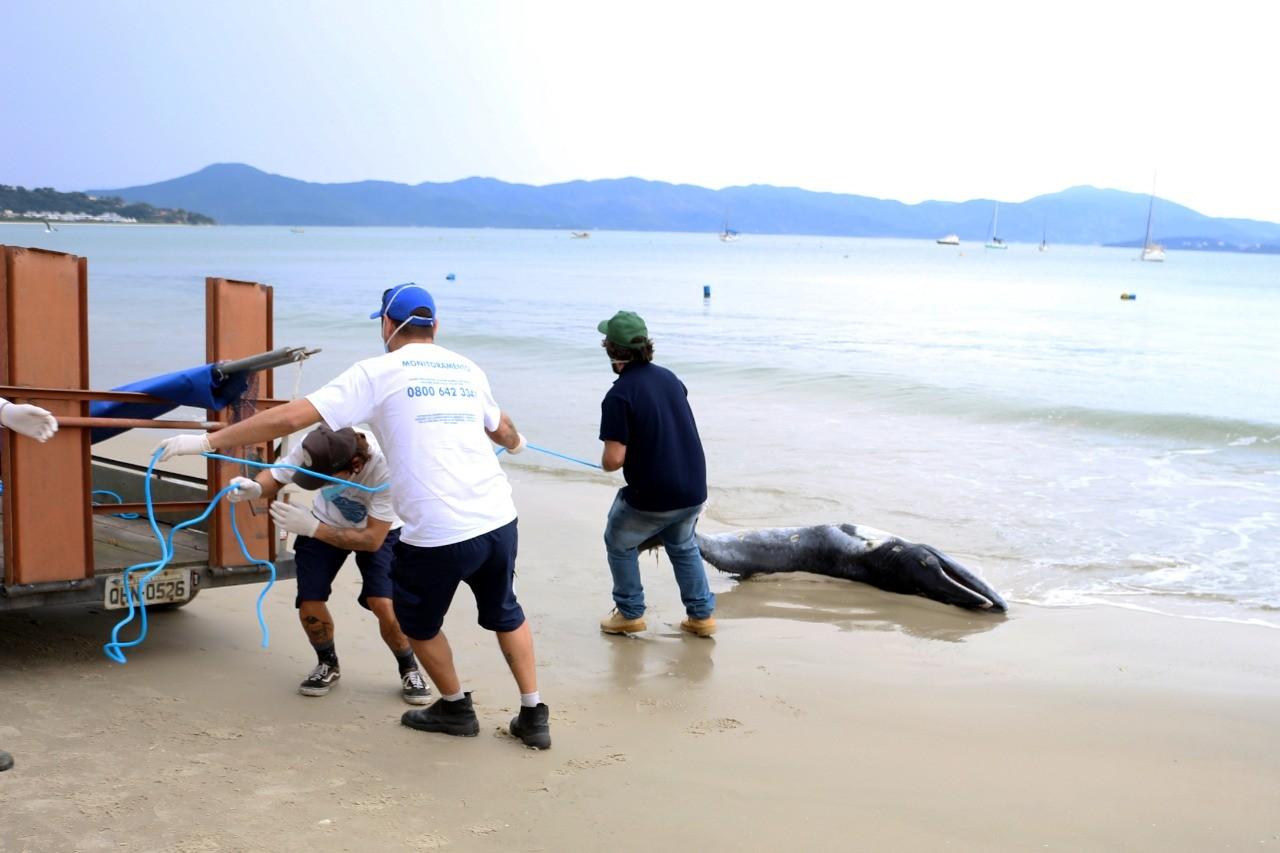 Baleia é encontrada morta na praia de Jurerê, em Florianópolis - Notícias - Plantão Diário