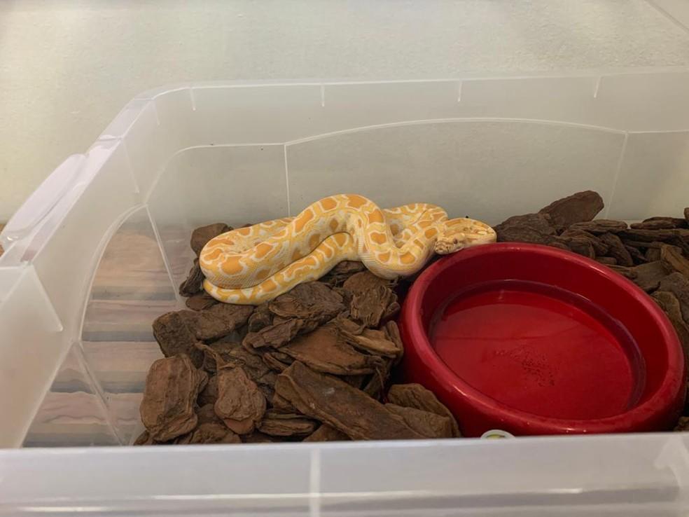 Serpente píton albina — Foto: PMRN/Divulgação