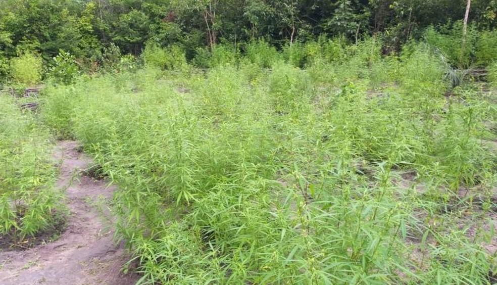 Plantação com aproximadamente 2.000 pés de maconha dentro de um matagal. — Foto: Divulgação/ Polícia Militar do Maranhão