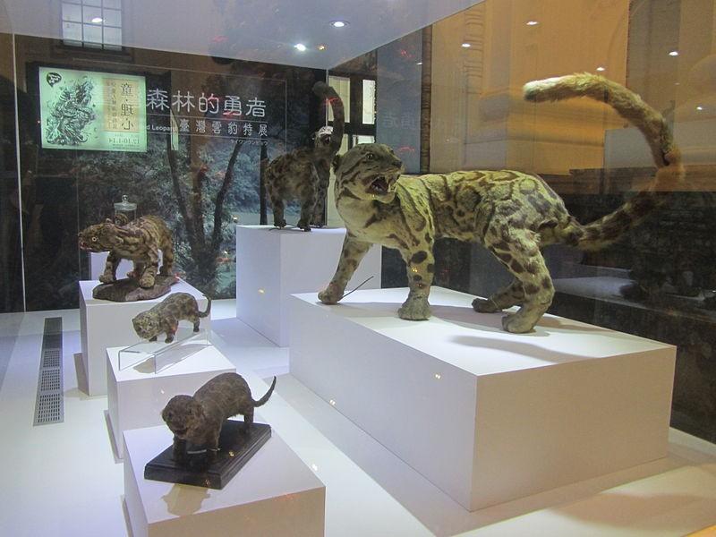 Estátuas do leopardo da espécie Neofelis nebulosa brachyura no National Taiwan Museum (Foto: SSR2000/Wikimedia Commons)