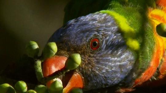 Periquito-arco-íris tem língua adaptada para se alimentar de néctar