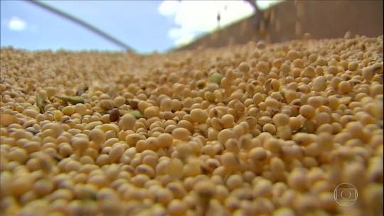 Soja convencional ainda é cultivada no Brasil, mas área plantada diminui