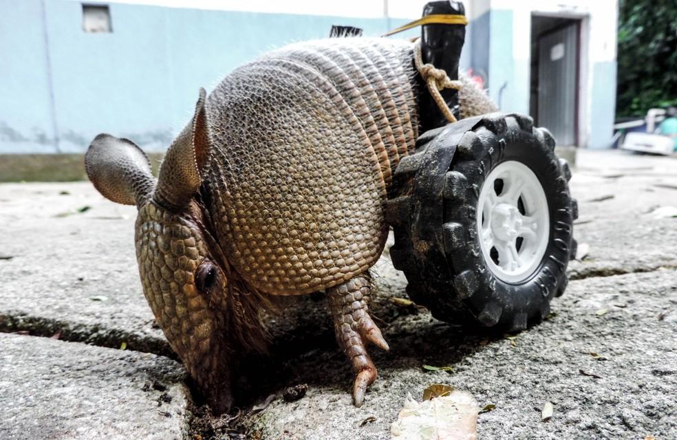 Animal vem tendo uma boa recuperação, mas dificilmente deve voltar a natureza — Foto: Paulo Sena/IEMA