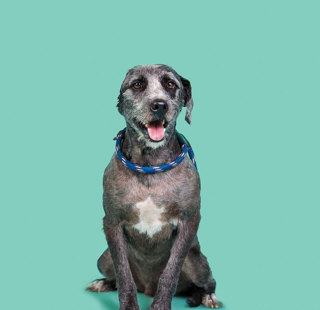 Cão disponível para adoção chegou a perder uma das orelhas (Foto: Busca Dogues/ Divulgação)