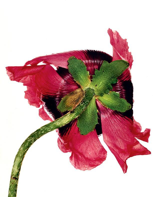 Beleza americana - Uma flor das muitas naturezas-mortas clicadas pelo fotógrafo (1948) (Foto: Irving Penn)