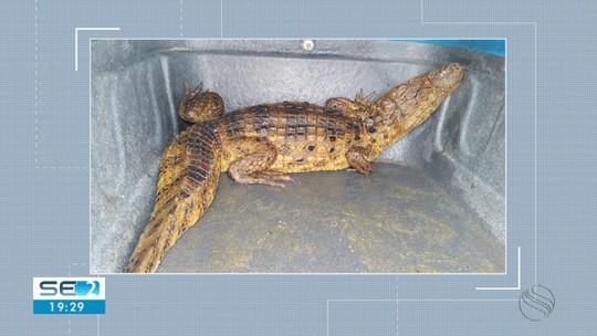 Dois jacarés são resgatados pela Adema em Aracaju