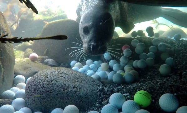 Animais marinhos podem acabar intoxicados com as bolas de golfe (Foto: Alex Weber, CC BY-ND)