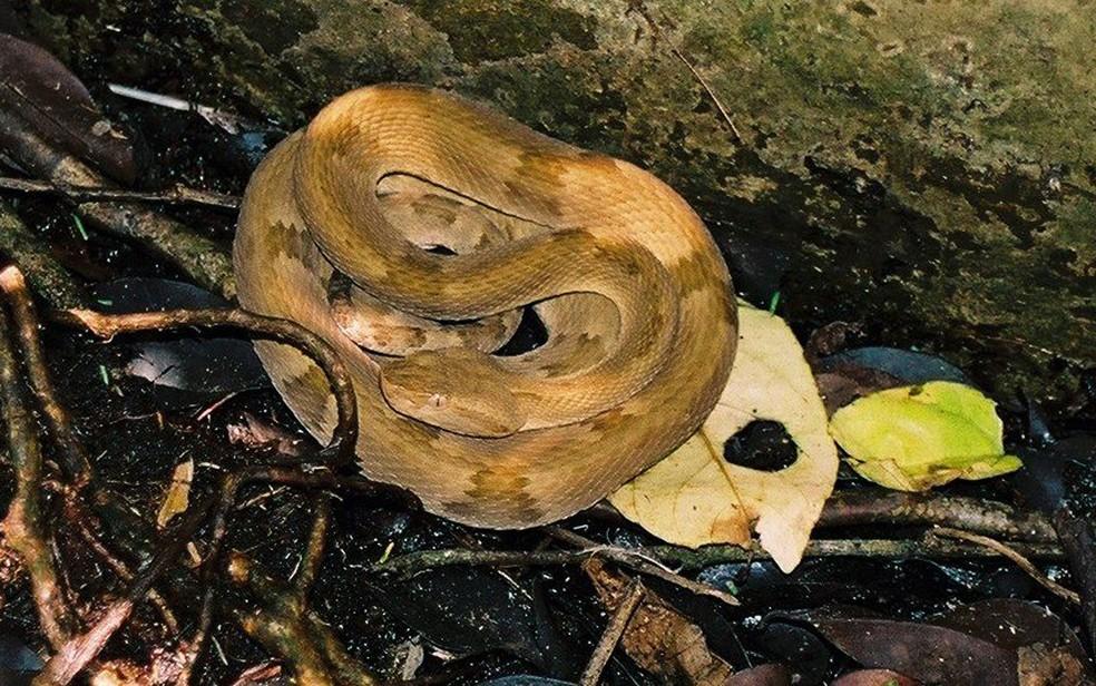 Ao contrário das espécies do continente, ela é menor e mais pesada e tem pele mais elástica (Foto: Marcelo Ribeiro Duarte)