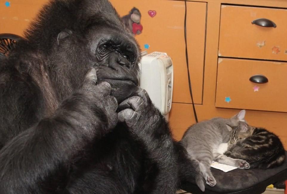 O gorila Koko ao lado de gatinhos (Foto: Divulgação/ The Gorilla Foundation)