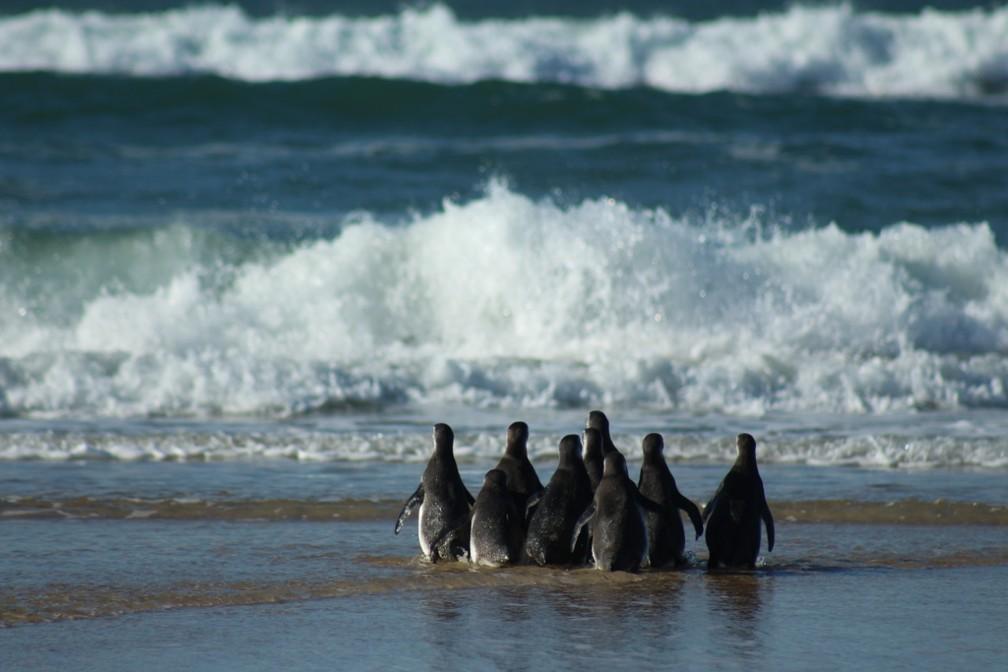 Soltura de pinguins em praia de Santa Catarina — Foto: Nilson Coelho/R3 Animal