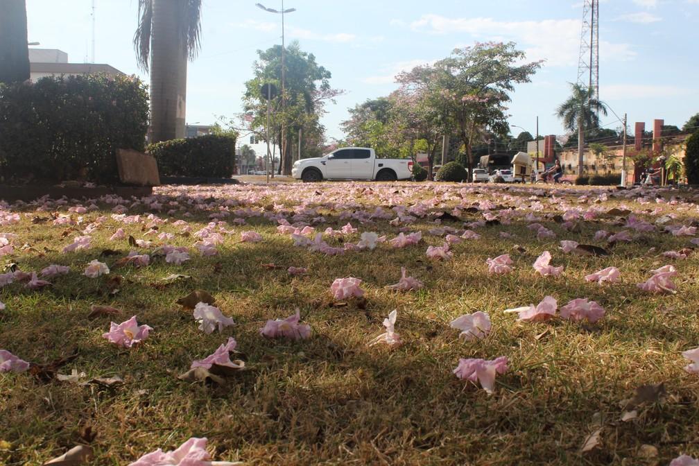 Flores dos ipês 'pintam' grama castigada pelo clima seco, em Porto Velho. — Foto: Pedro Bentes/G1