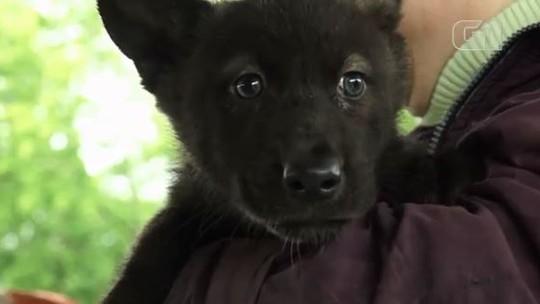 Filhotes de lobo de zoológico na Rússia são chamados de Fifa e Zabivaka