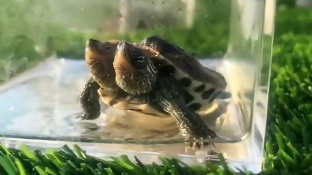 Tartaruga com duas cabeças  (Foto: Reprodução)