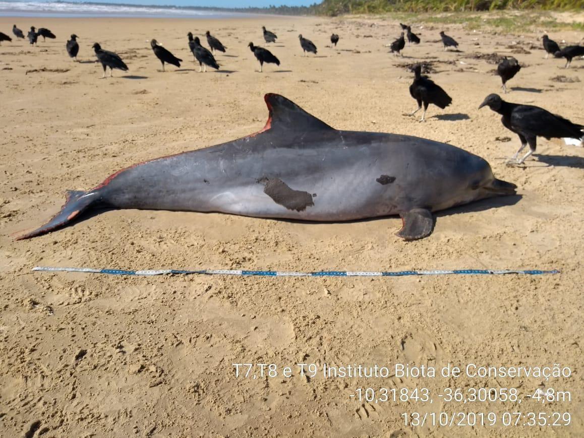 IMA descarta óleo como causa da morte de golfinho em Feliz Deserto, AL  - Notícias - Plantão Diário