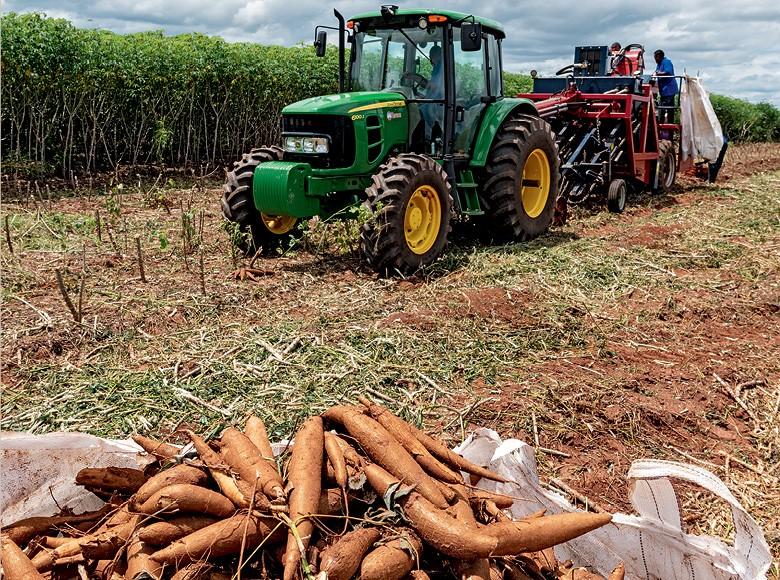 Embrapa e Tereos testam novas variedades da mandioca com melhor rendimento no campo e na indústria (Foto: Divulgação)