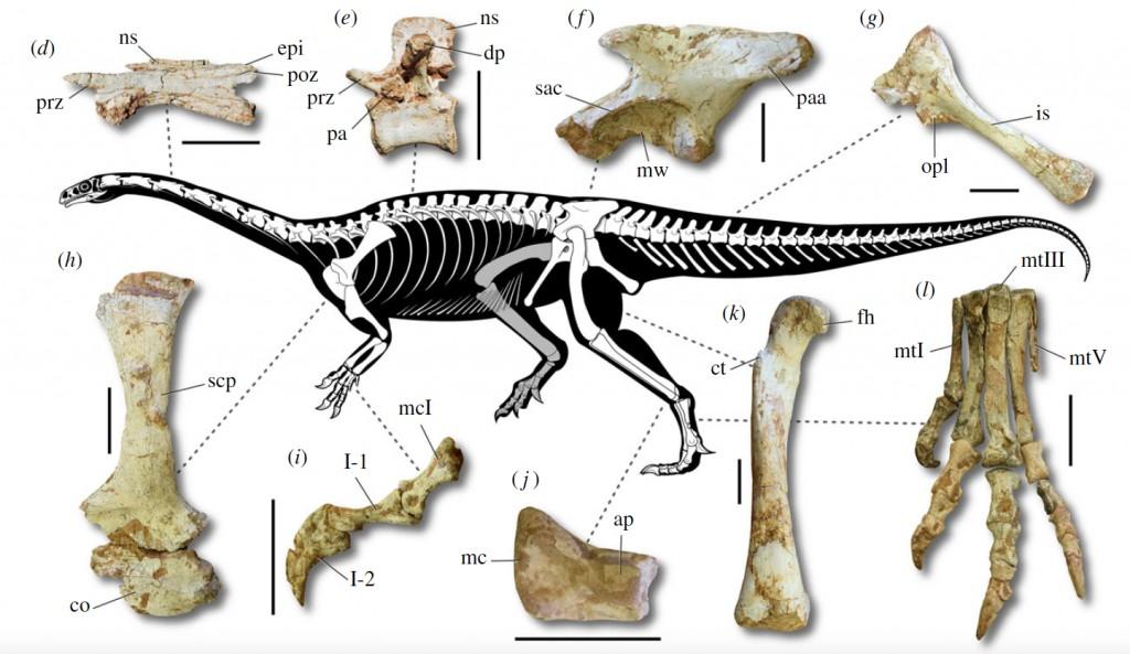 Fósseis do Macrocollum itaquii, dinossauro brasileiro (Foto: Rodrigo Müller)