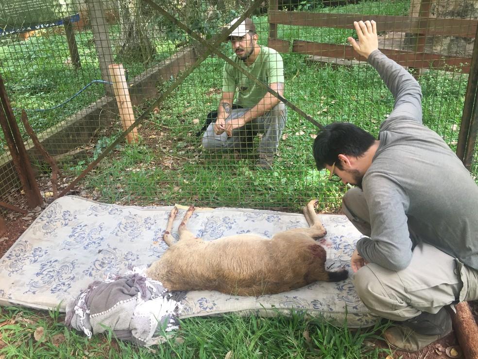 No centro de reabilitação da Capital, o veado é mantido sob atenção contínua: espécie sob risco de extinção — Foto: Divulgação/ICAS